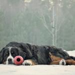 bernese-mountain-dog2